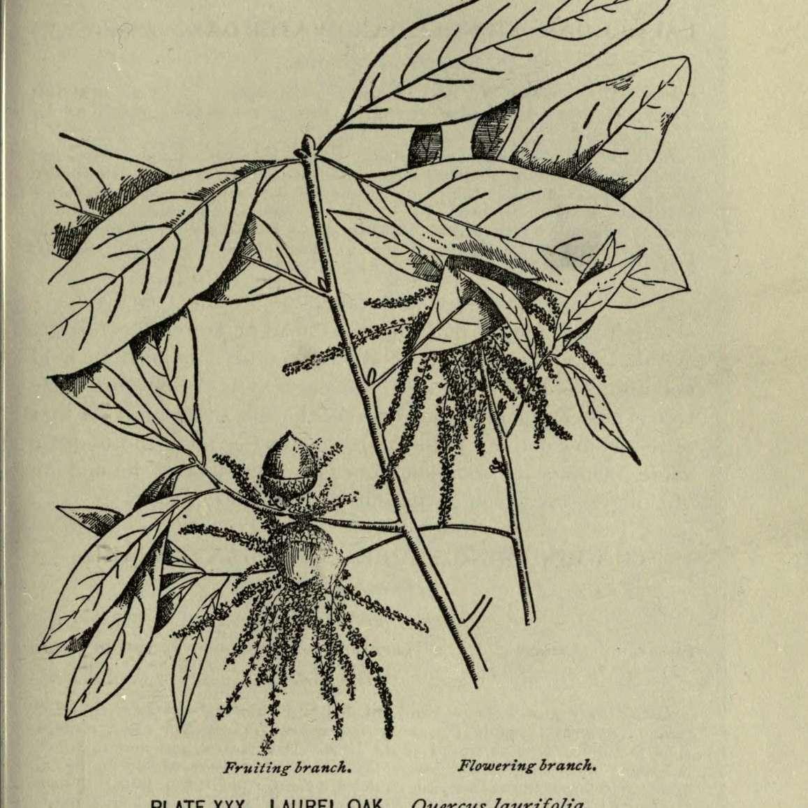 laurel oak illustration