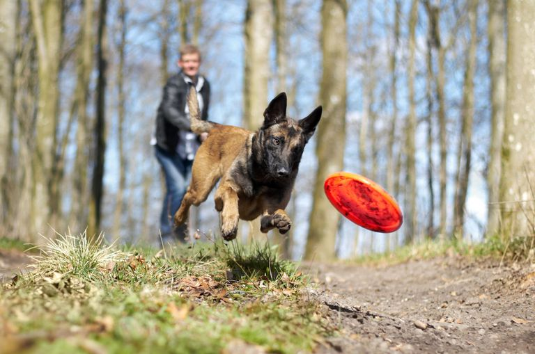 Dog chasing after a frisbee