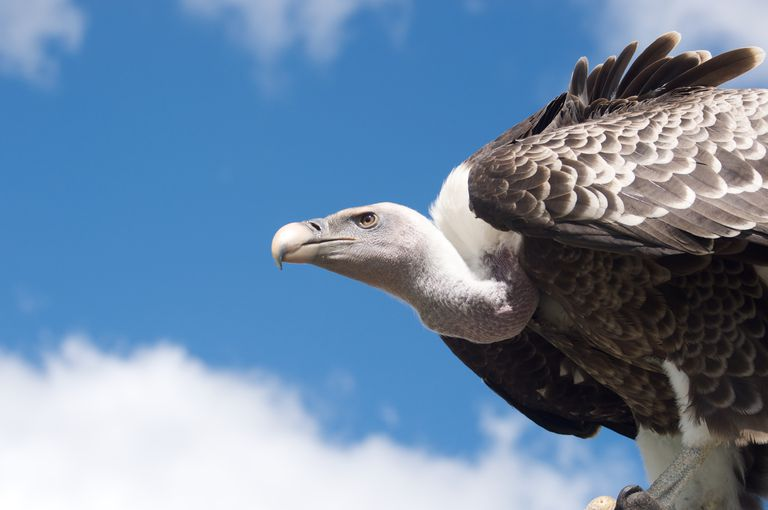 Vulture against blue sky.