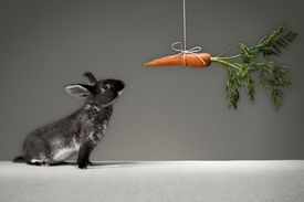 Rabbit looking at carrot on a stick