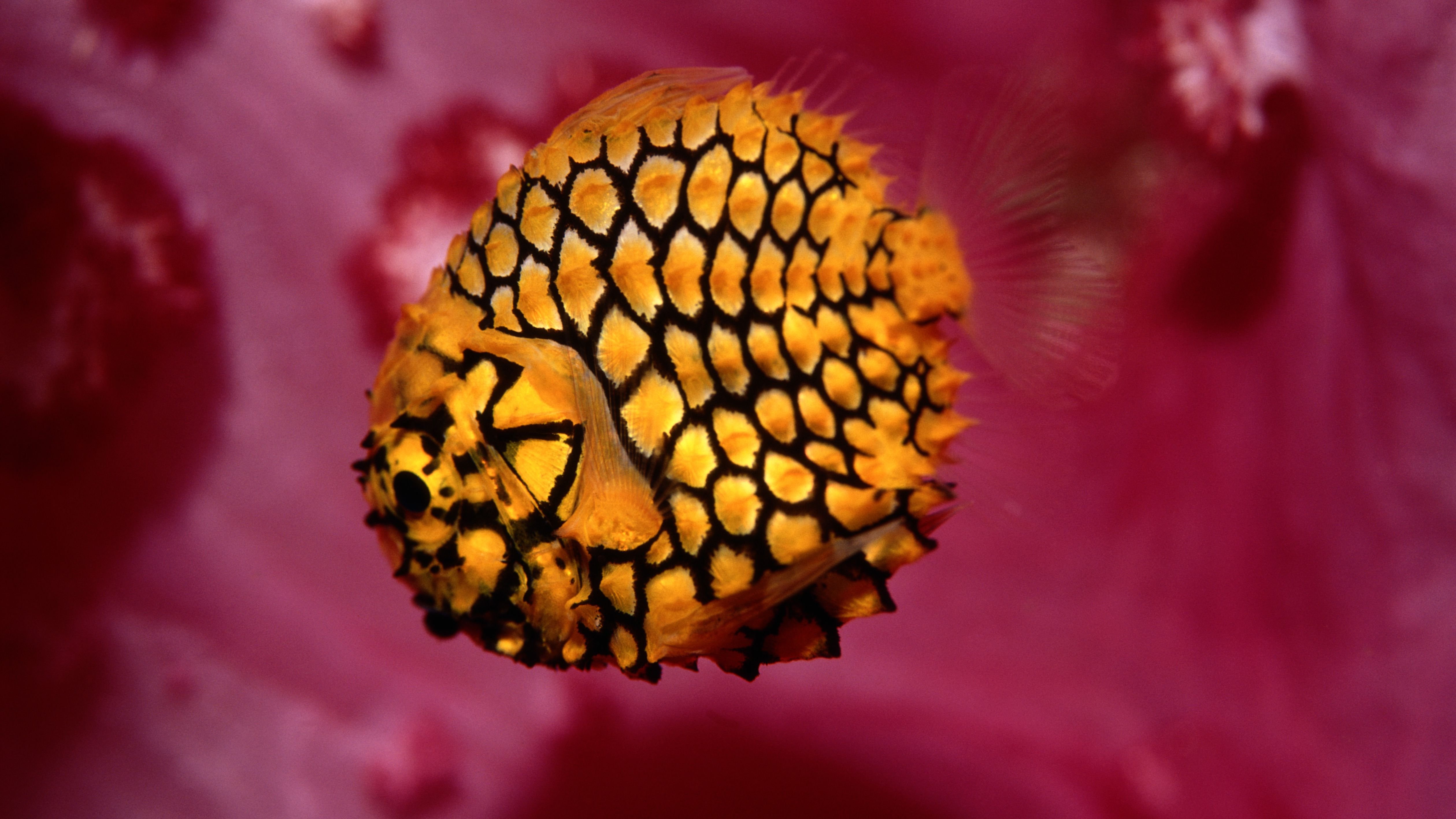 Pinecone Fish Facts and Information