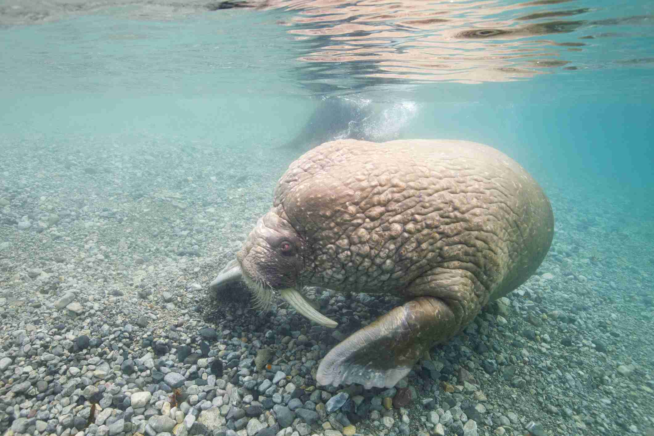 Walrus underwater in the shallows