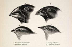 Illustration of Darwin's Galapagos Finches