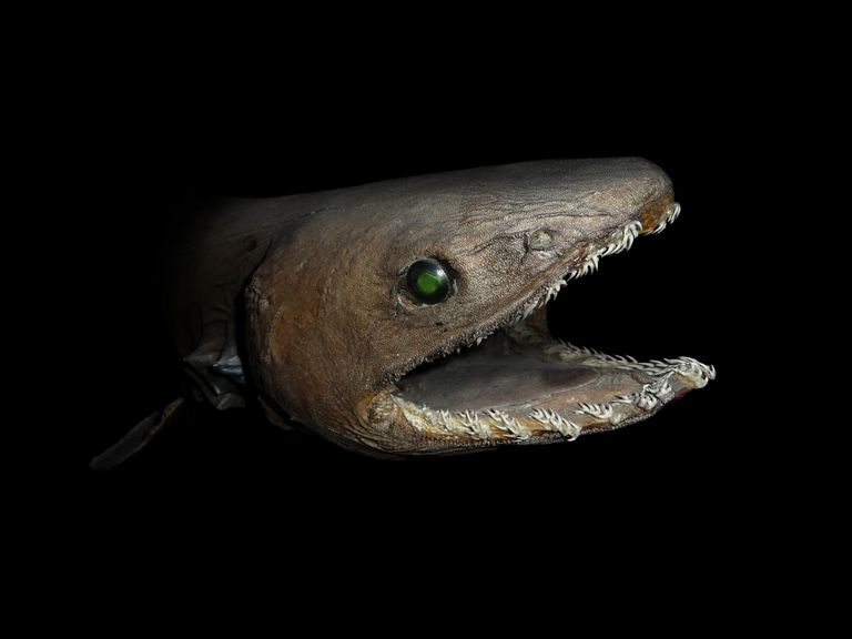 Chlamydoselachus anguineus or frilled shark.