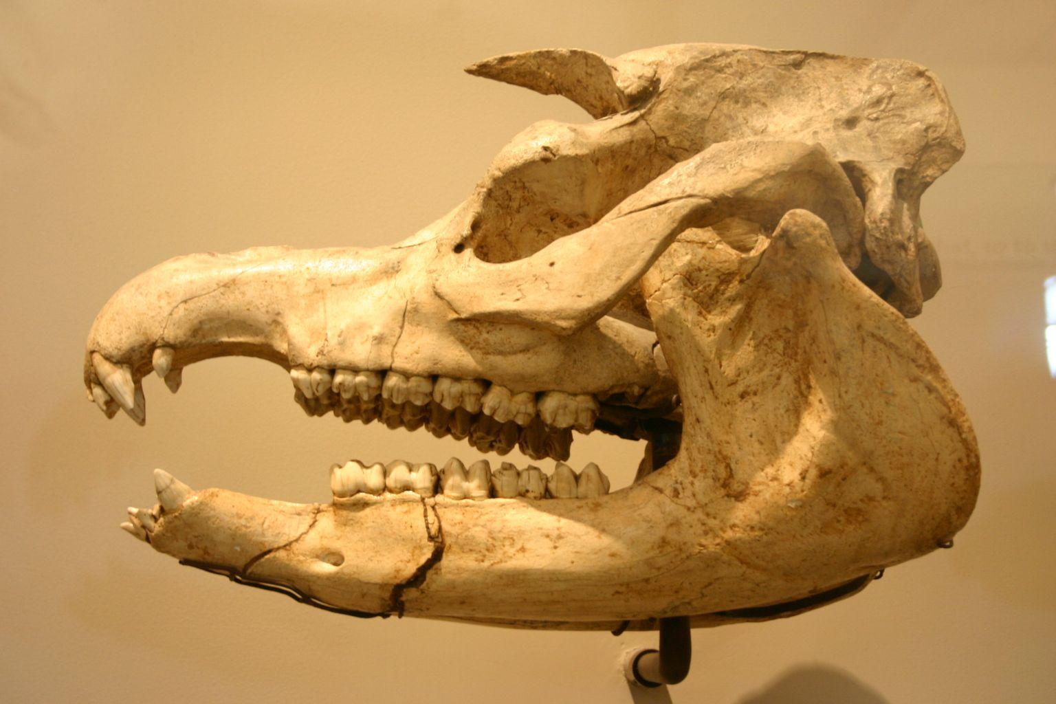 Giant tapir (Megatapirus augustus)