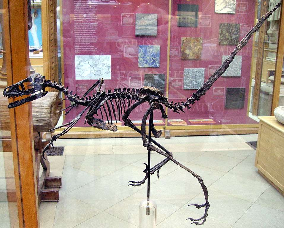 Bambiraptor skeleton in the Oxford University Museum of Natural History
