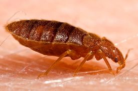 Bed bug on human skin close up.