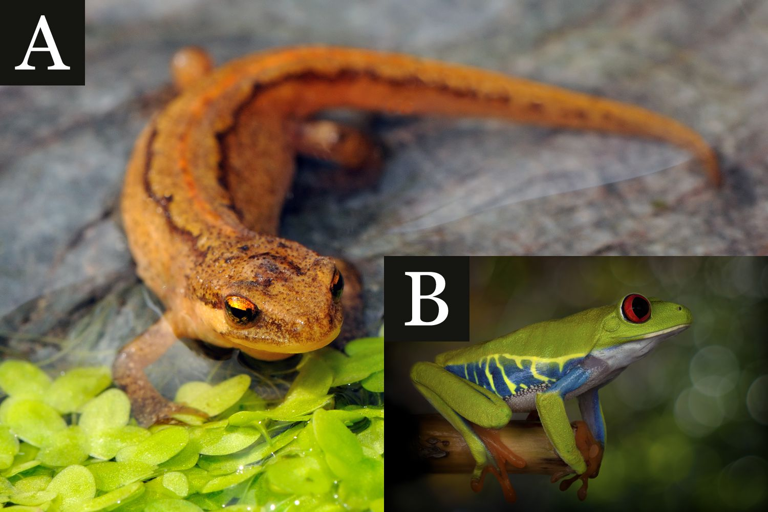 Amphibian: Tail or No Tail?