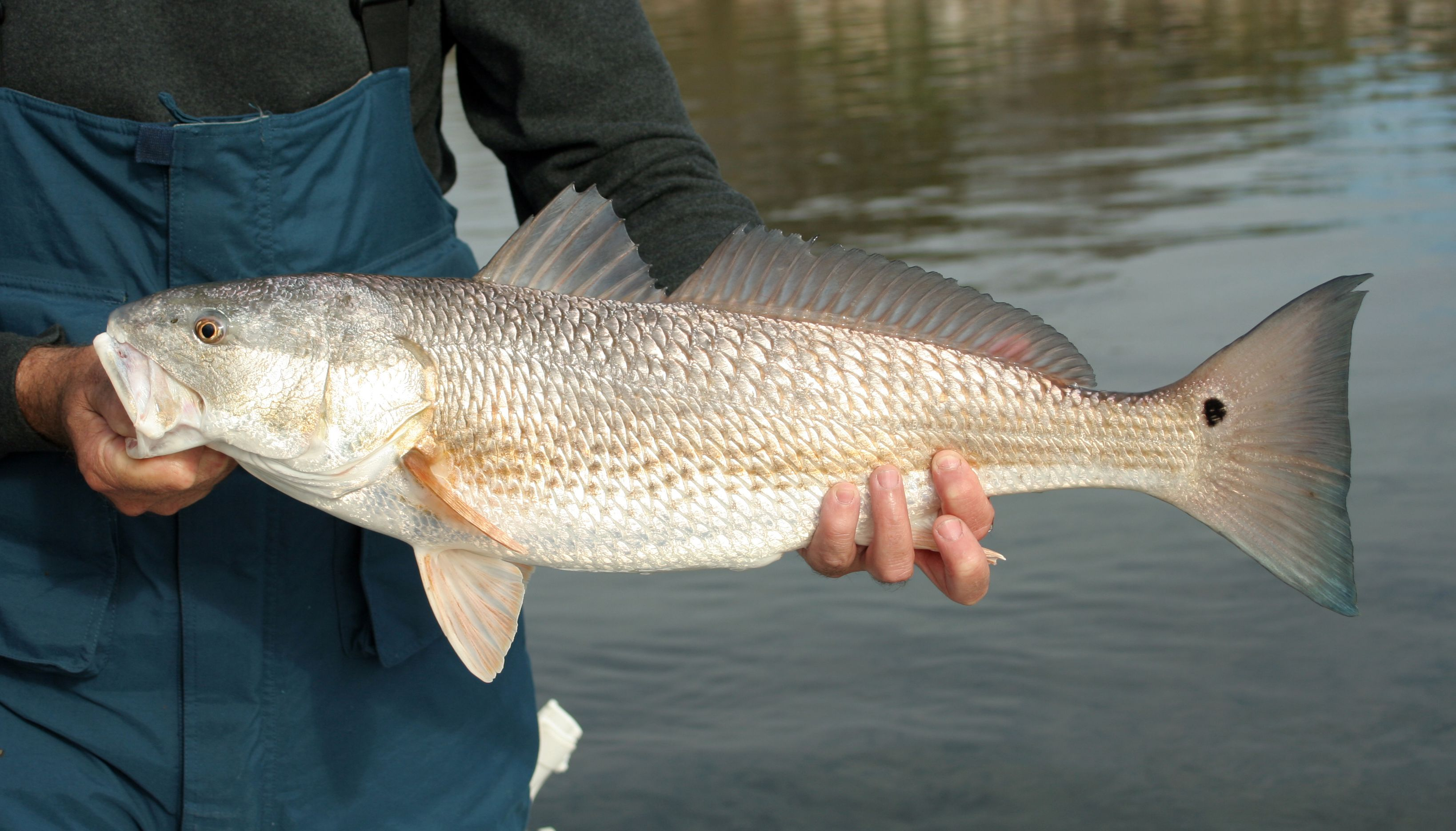 The Perfect Redfish Bait