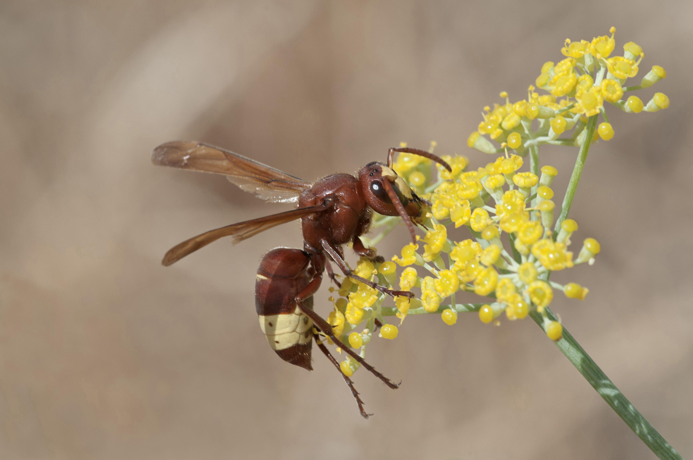 El avispón oriental (Vespa orientalis) utiliza la fotosíntesis para generar electricidad.