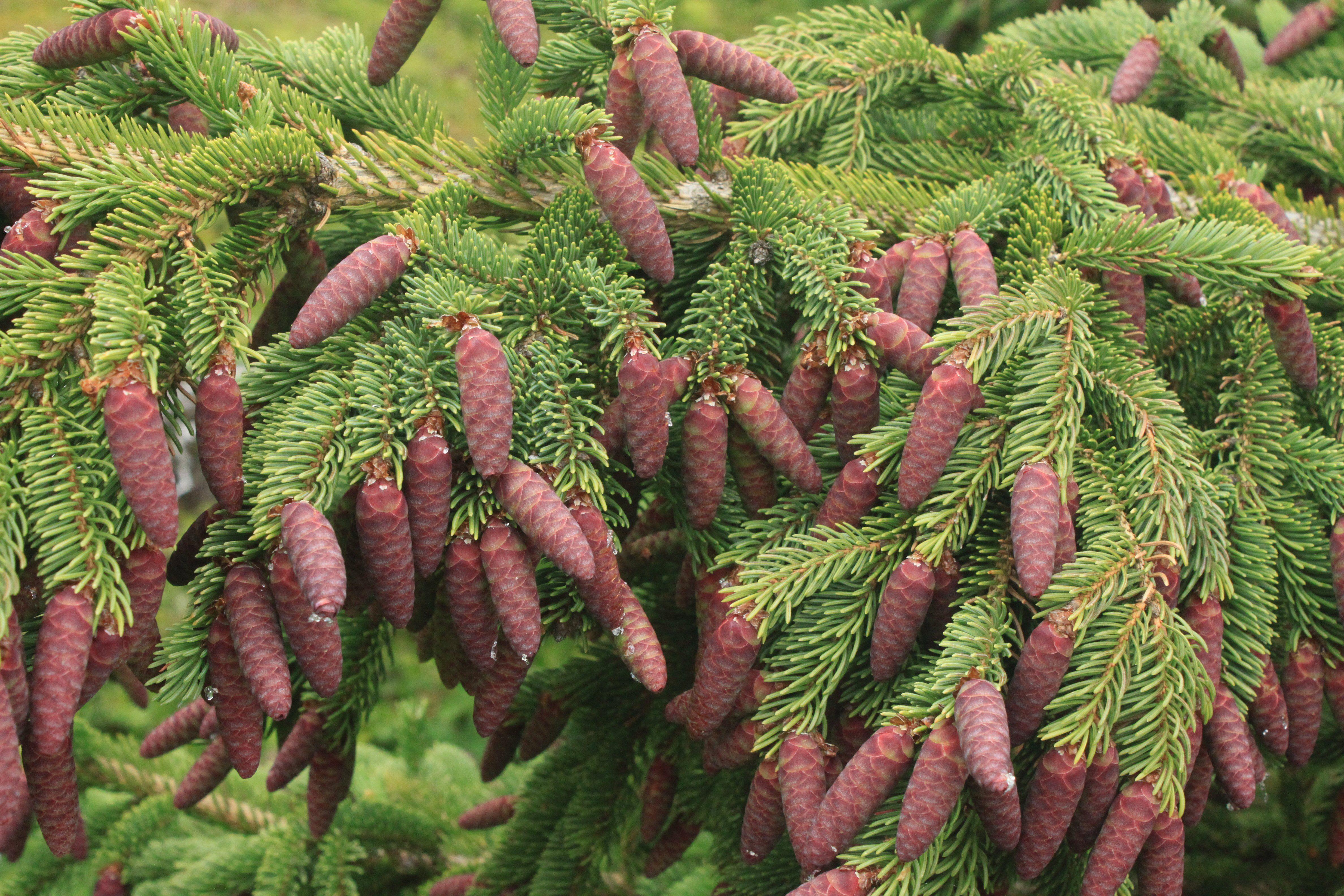 conifer tree cones
