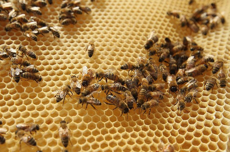 Bees cover a honeycomb rack