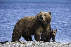 Mother brown bear standing over her cub, Kuril Lake, Kamchatka, Russia.