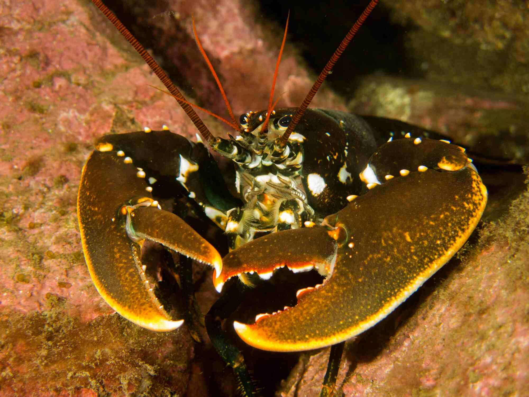 Lobster among rocks