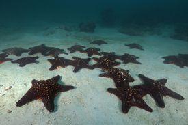 Knobby Starfish Knobby Starfish