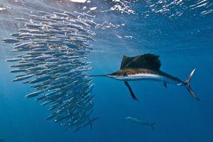 Two bony fish species: Atlantic sailfish attacking a sardine baitball, Isla Mujeres, Mexico