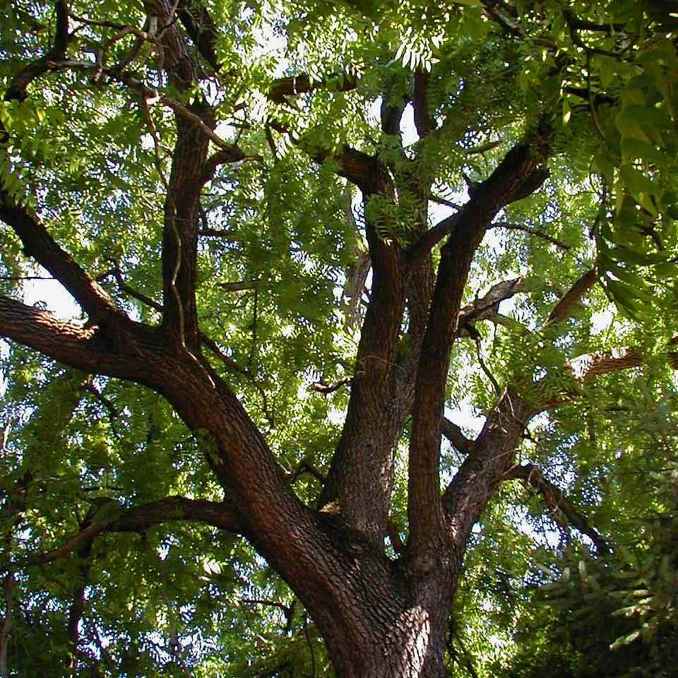 Black Walnut Is a Common North American Tree