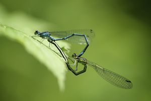 When dragonflies or damselflies mate, they perform all kinds of acrobatics.
