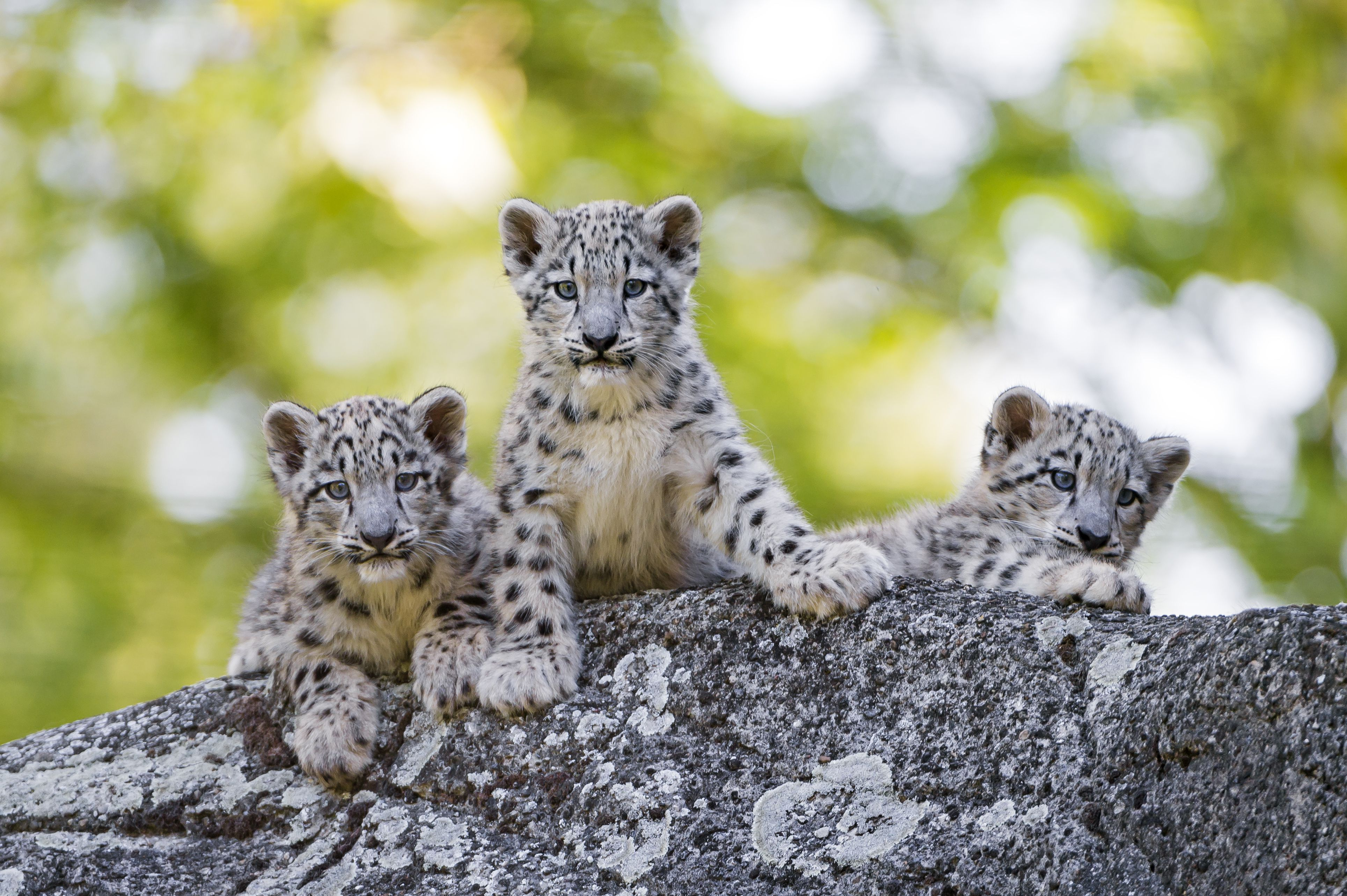 Snow leopard cubs have black spots that turn into rosettes as the cats approach maturity.