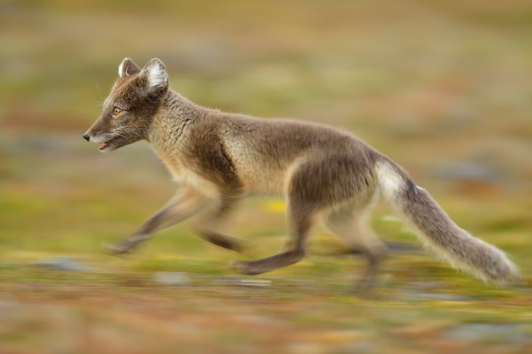 A fox runs in a natural environment