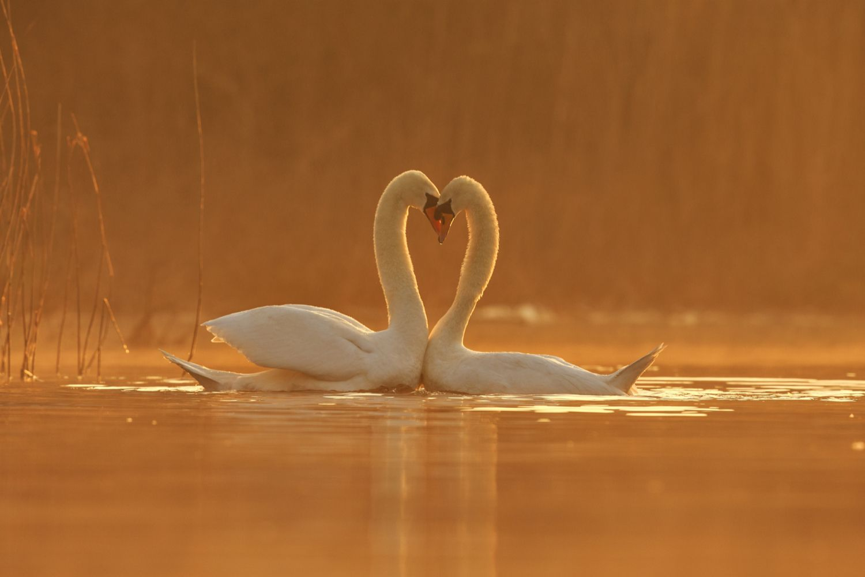 Swan Courtship