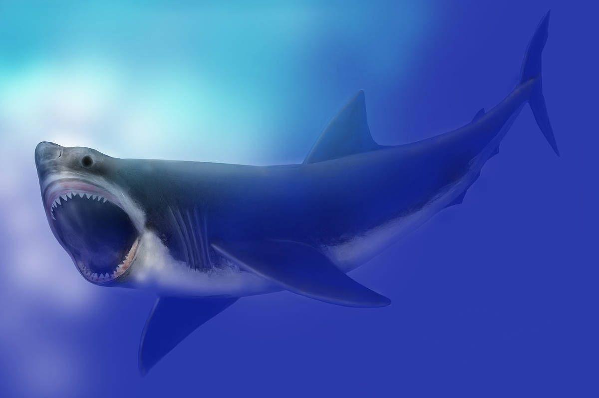 Carcharodon megalodon SI