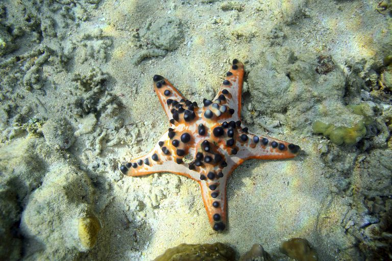 A Chocolate chip sea star