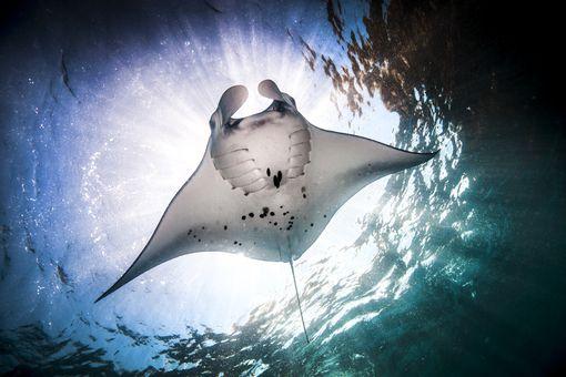 Manta Ray (Manta alfredi) feeding at ocean surface, Bali, Indonesia