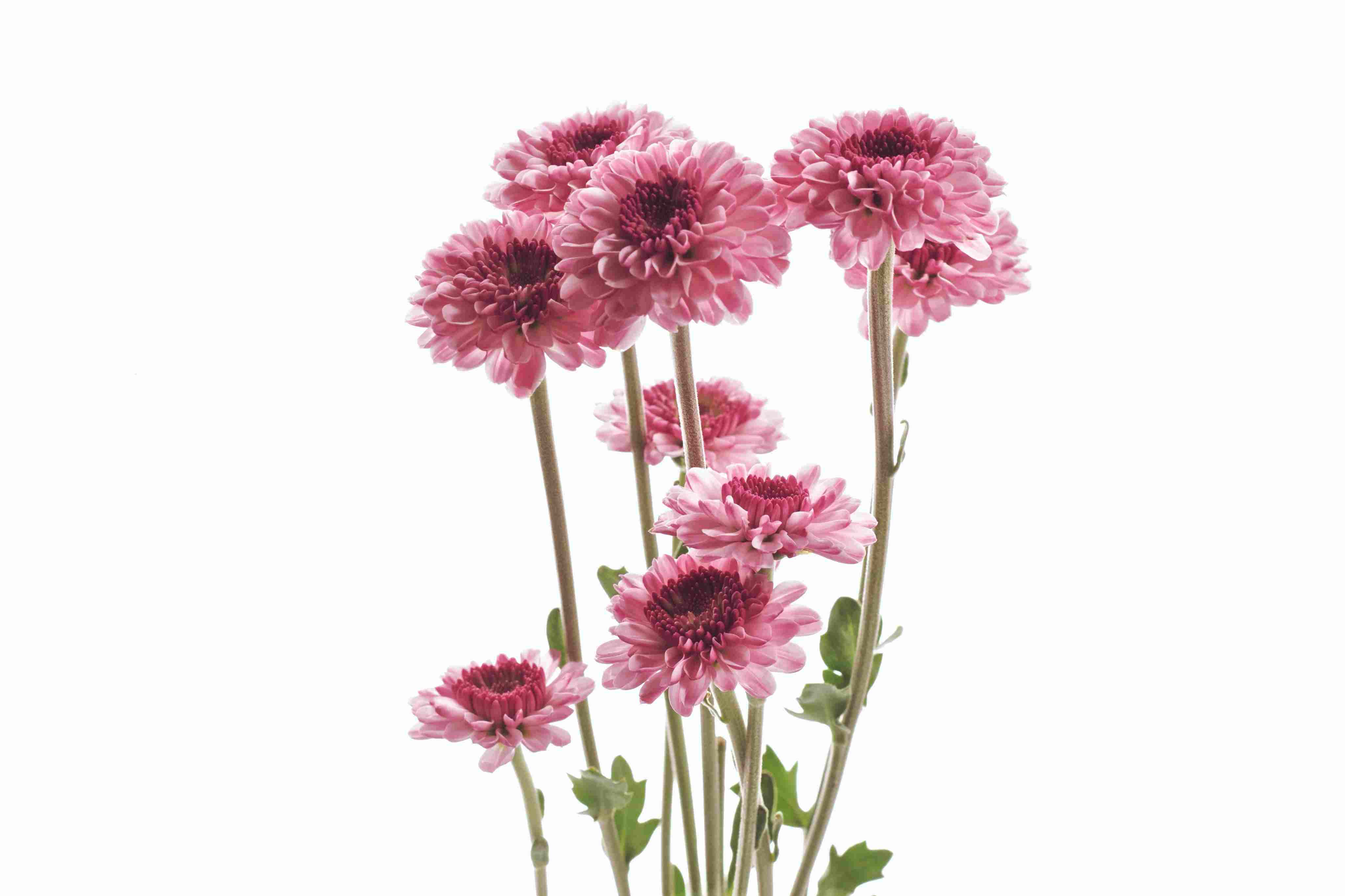 Chrysanthemums Against White Background