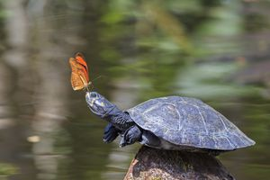 Turtle with a butterfly perched on its nose.