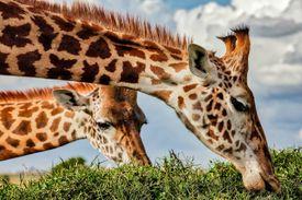 Giraffe grazing top of the acacia thorn tree at wild