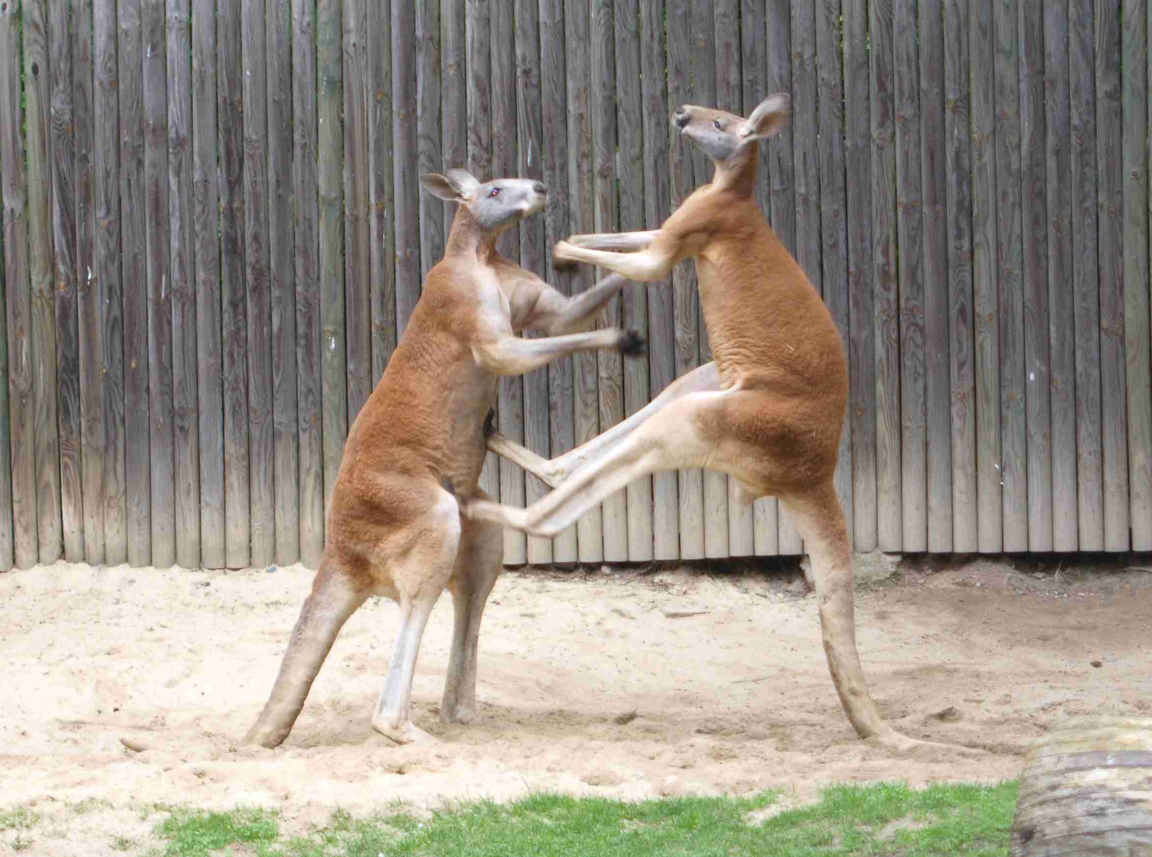 Two kangaroos fighting each other.
