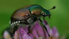 Close up of Japanese beetle on flower