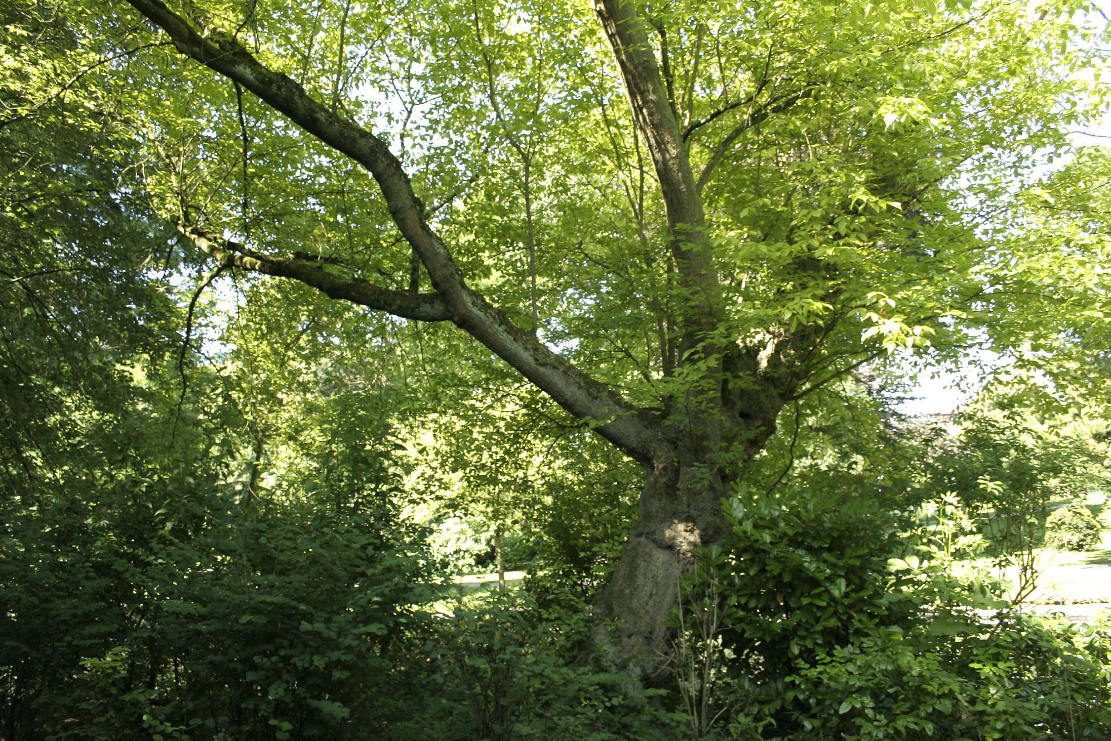 árbol de boxelder