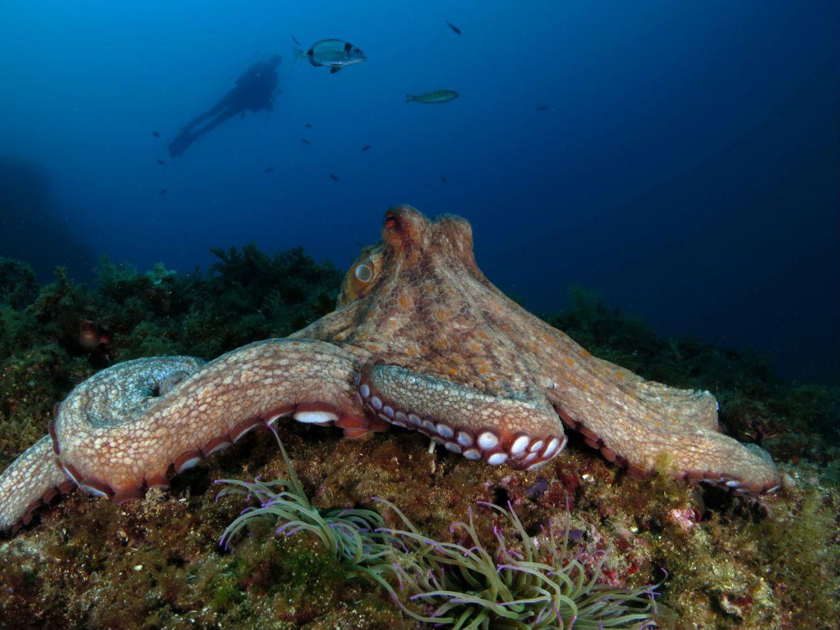 An octopus mother fiercely guards her den