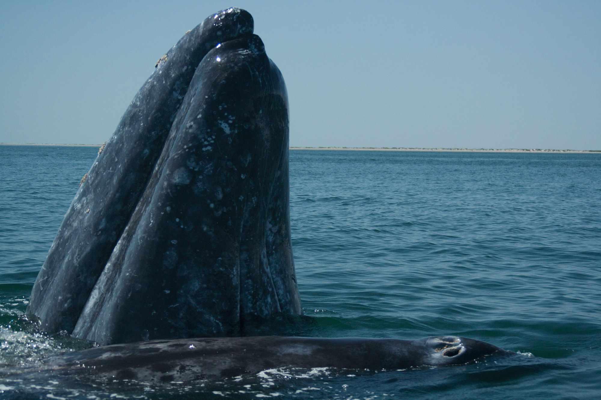 Una ballena gris adulta y su cría se acercan a los turistas. / An adult gray whale and its calf approach tourists.
