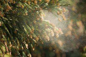 Fine Tree Pollen