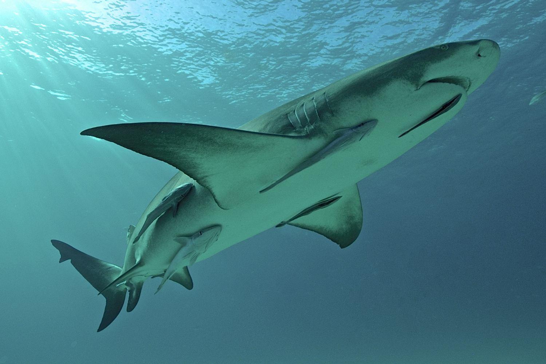 Lemon Shark and Remora Fish