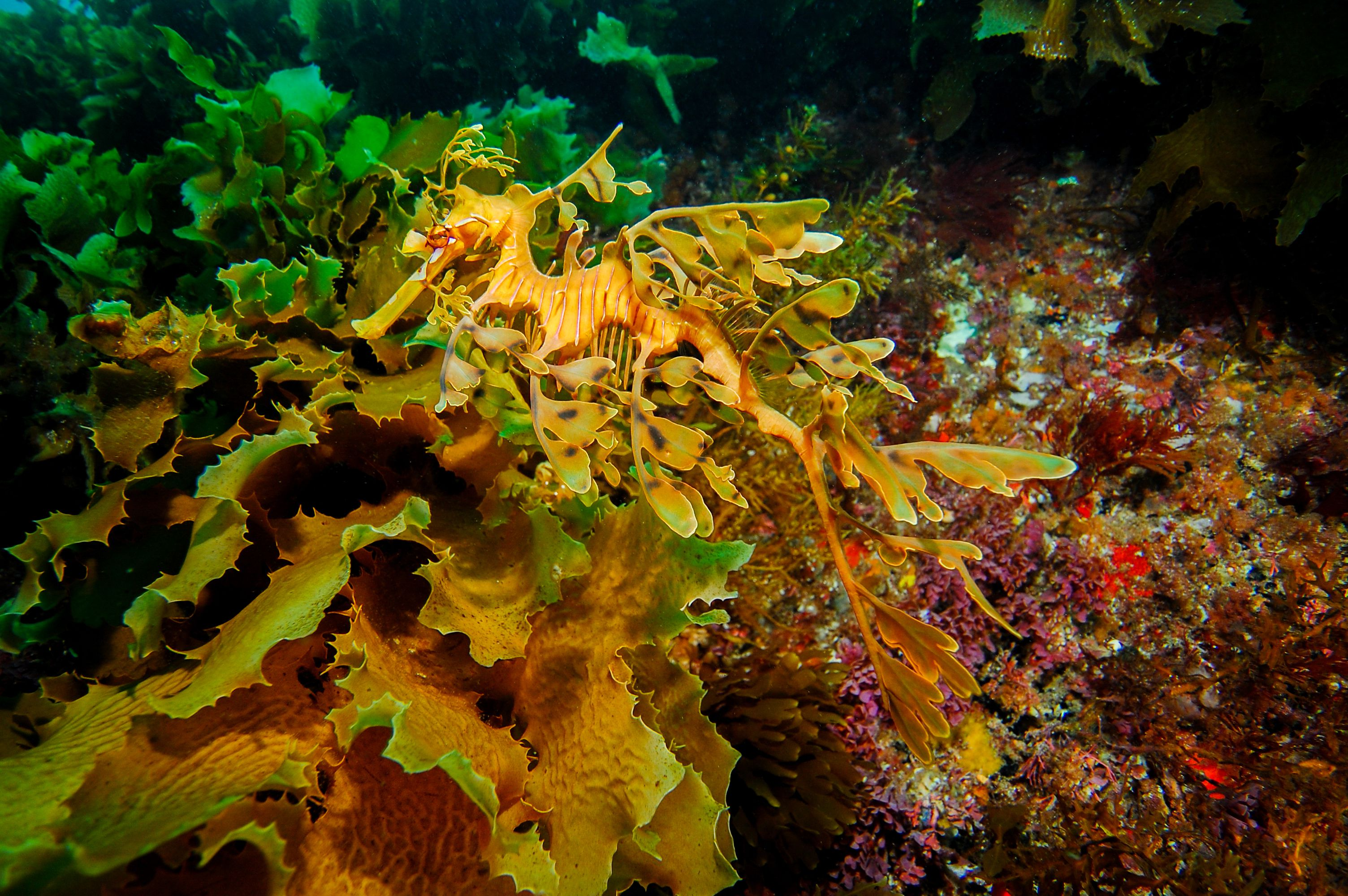 Leafy protrusions and the ability to change color make the leafy sea dragon nearly invisible against its surroundings.
