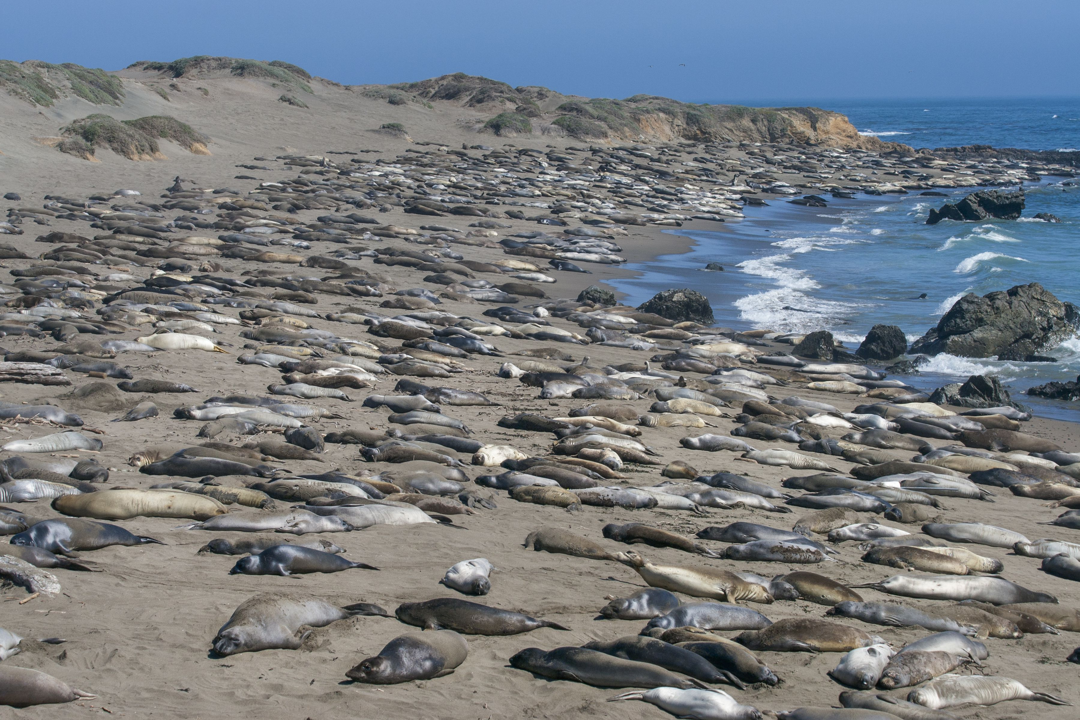 Once hunted to the brink of extinction, elephant seal numbers have recovered.