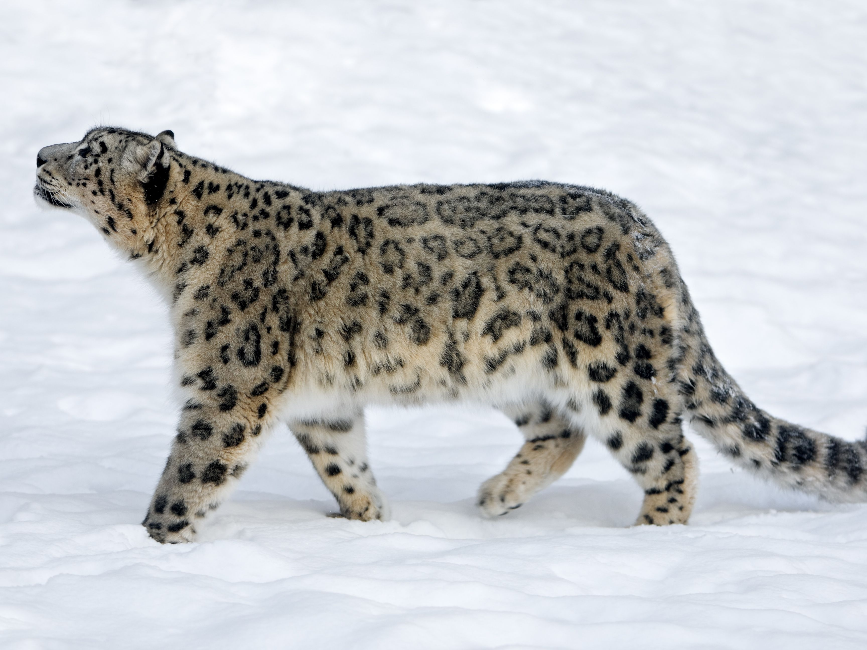 what is a snow leopard diet