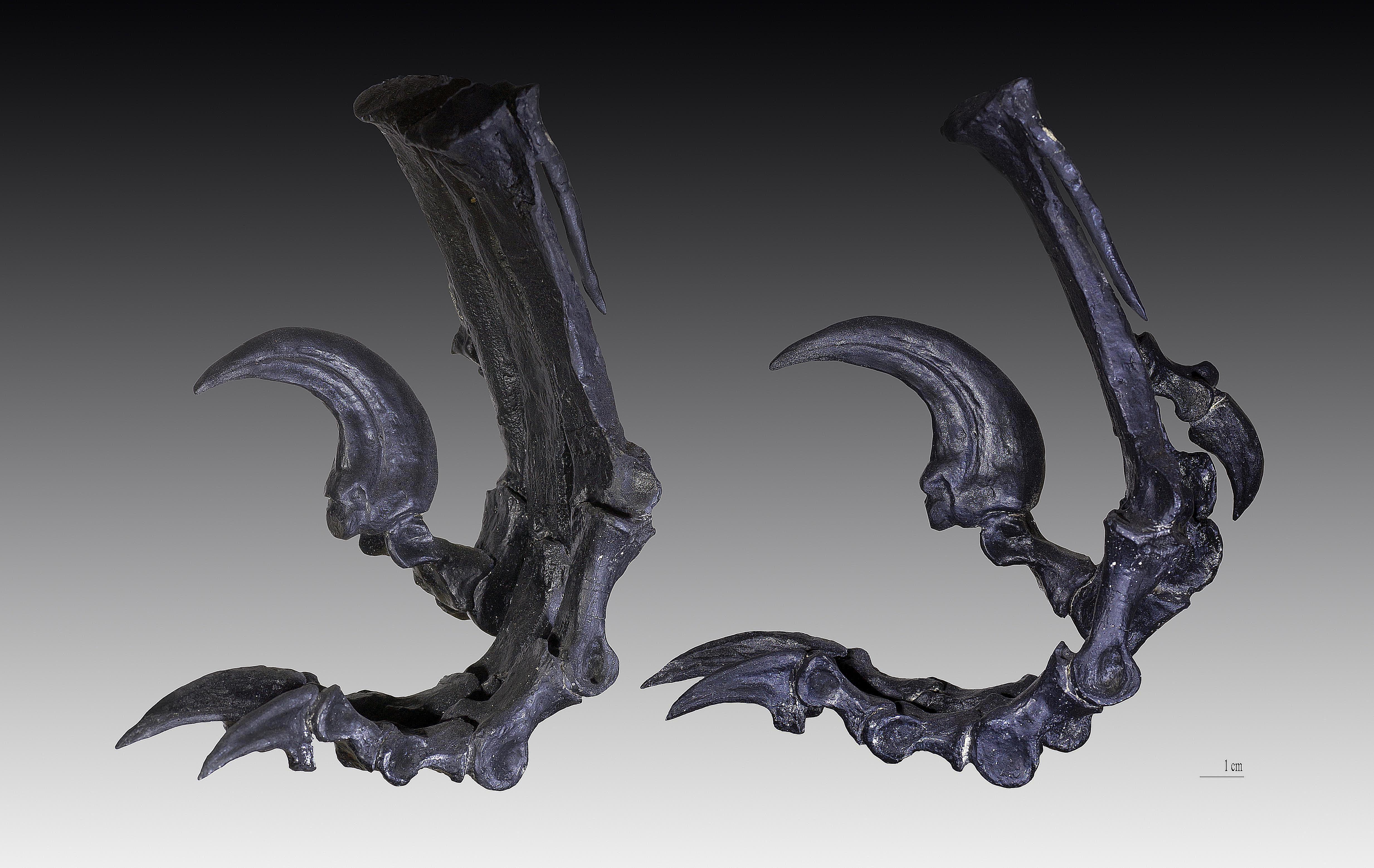 deinonychus hind claws