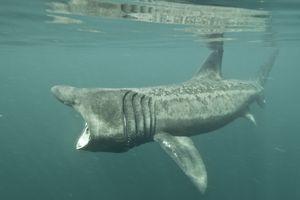 Basking Shark / Mark Harding/Robert Harding World Imagery/Getty Images