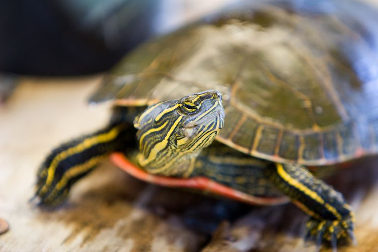 Should You Keep a Wild Turtle?