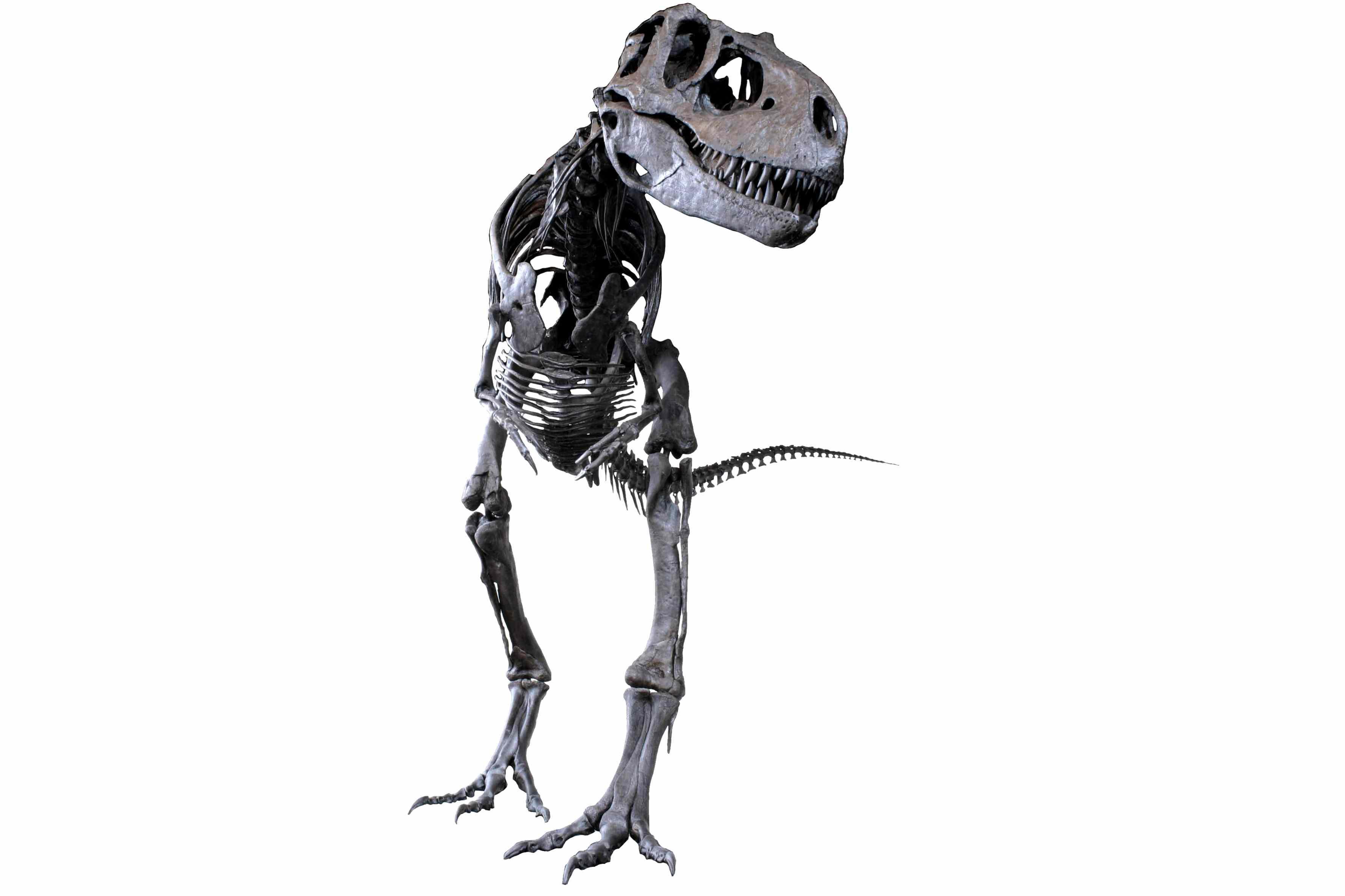 Cast skeleton of albertosaurus in Colorado