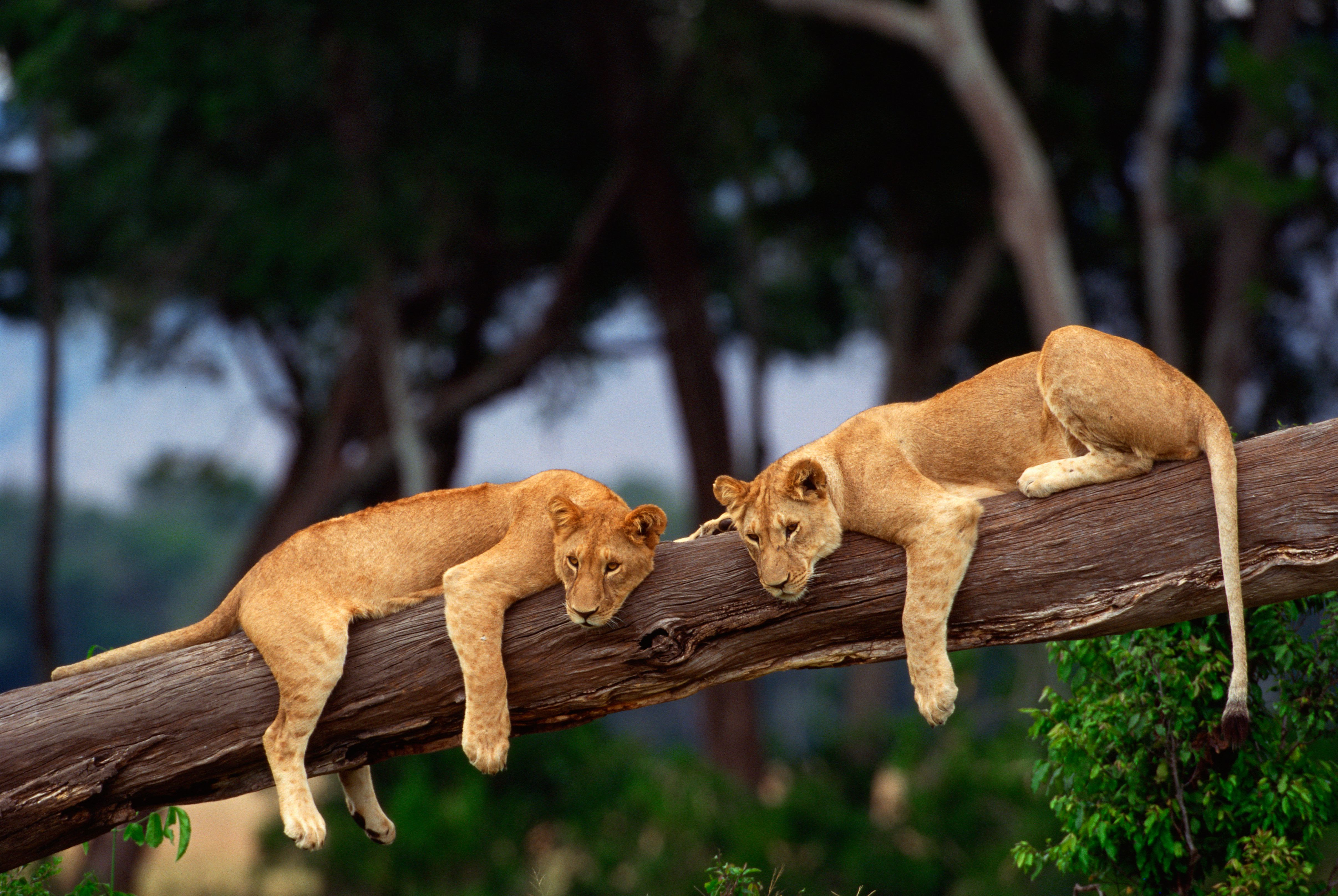 Two lionesses sitting on a tree branch.