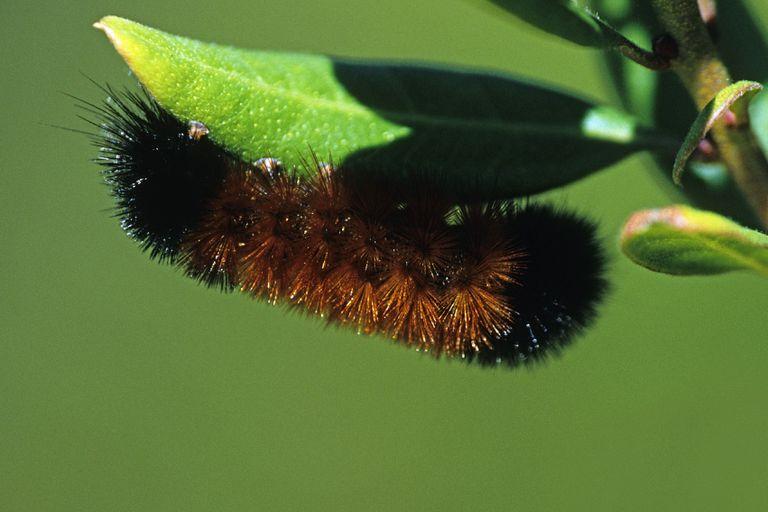 A woolly bear caterpillar