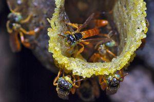 Stingless Bees (Tetragonisca angustula) in Cockscomb Wildlife Sanctuary, Belize.