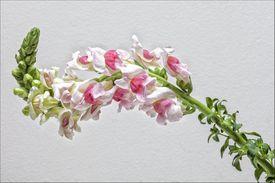 Snapdragon flower (Antirrhinum) blooming
