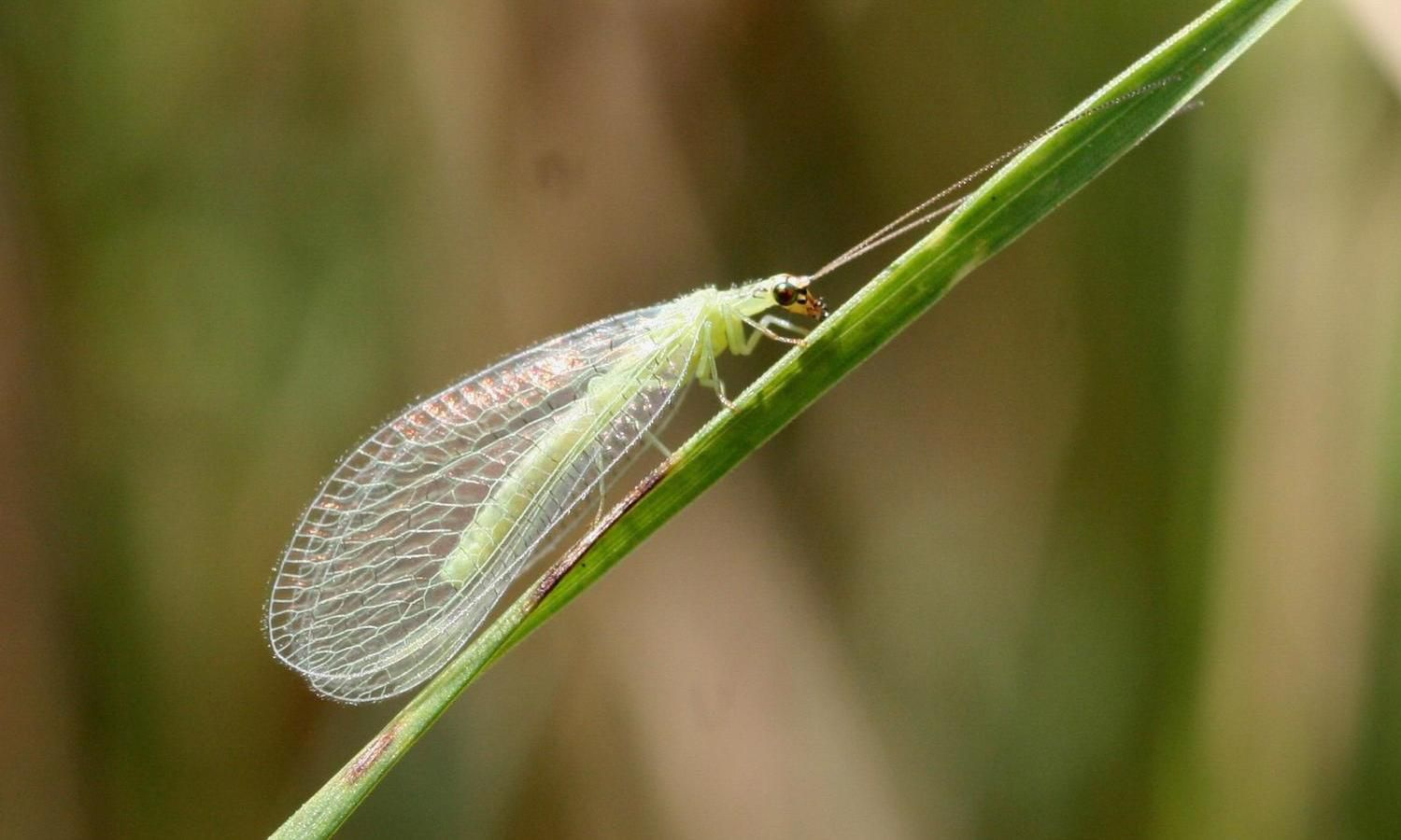 The delicate green lacewing on a green leaf